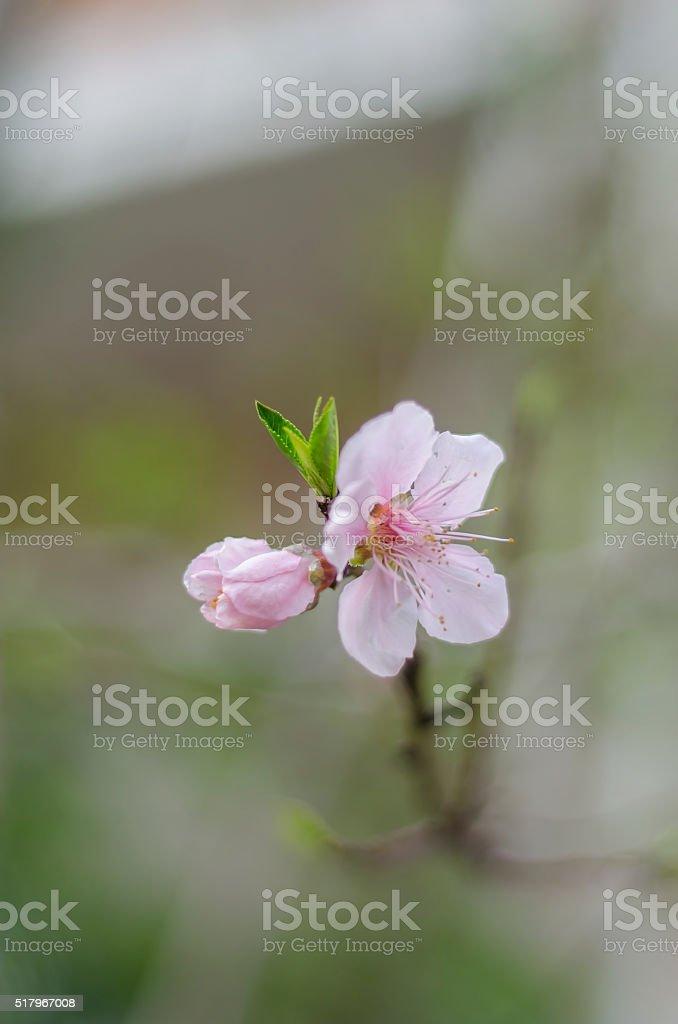 peach blossom close-up stock photo