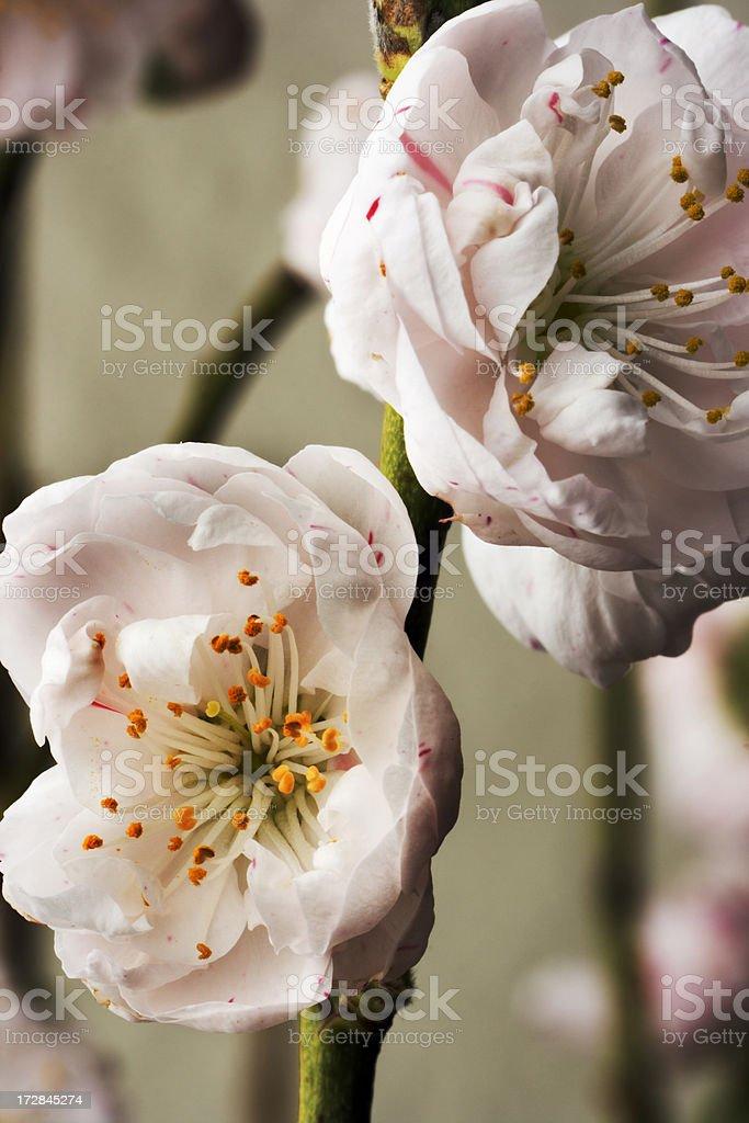 Peach Blossom Dream royalty-free stock photo