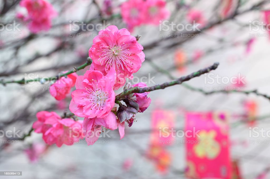 Peach Blossom in Chinese New Year stock photo
