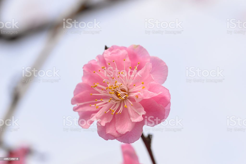 Peach blossom in full bloom stock photo