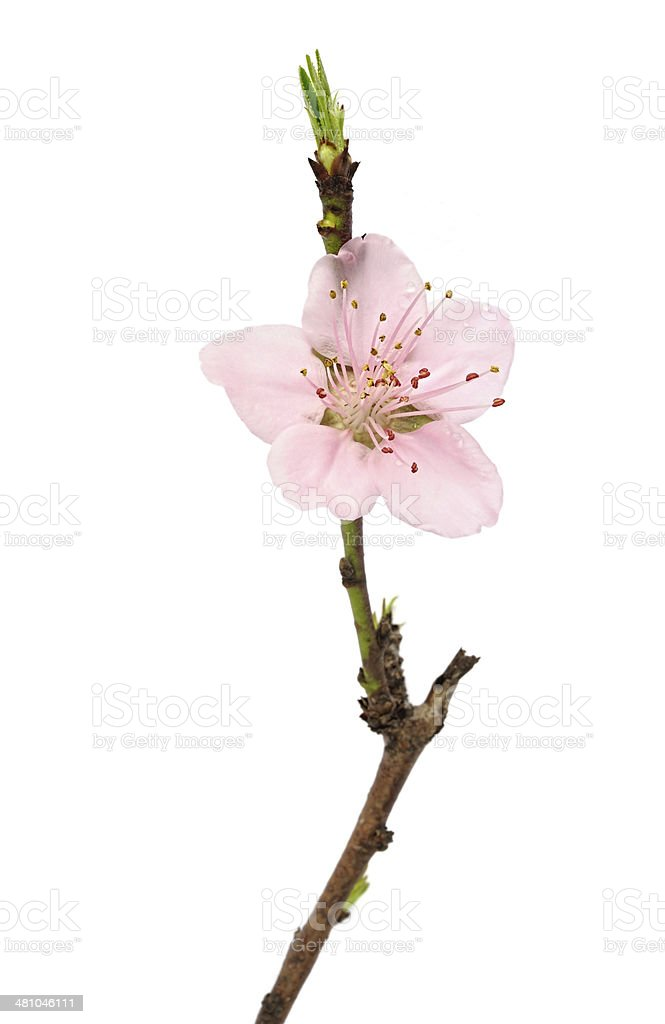 Peach blossom isolated stock photo