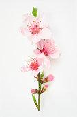 Peach blossom isolated