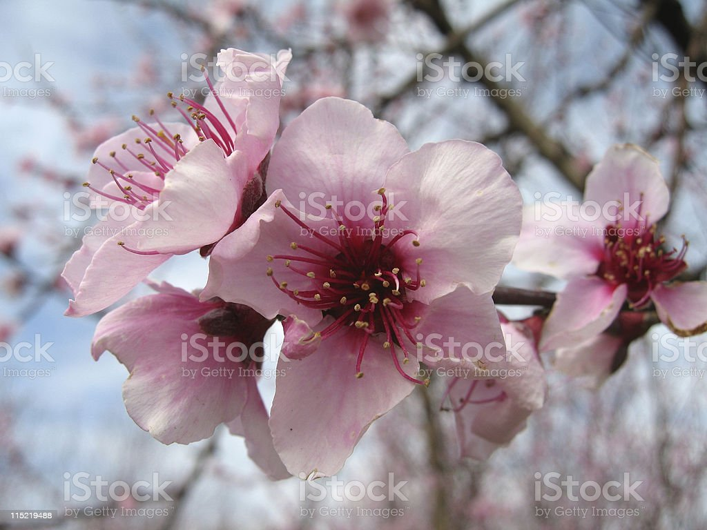 Peach Blossom (Prunus persica) royalty-free stock photo
