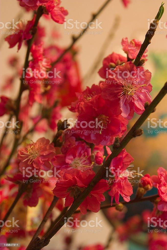 Peach blossom stock photo