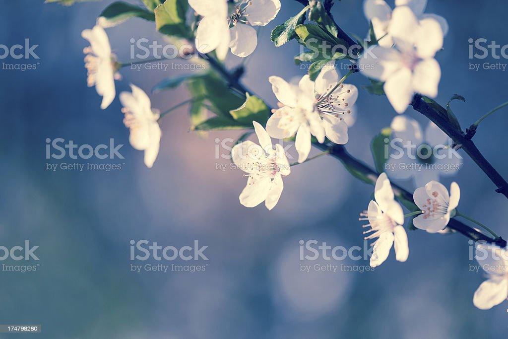 Peach Blossom royalty-free stock photo