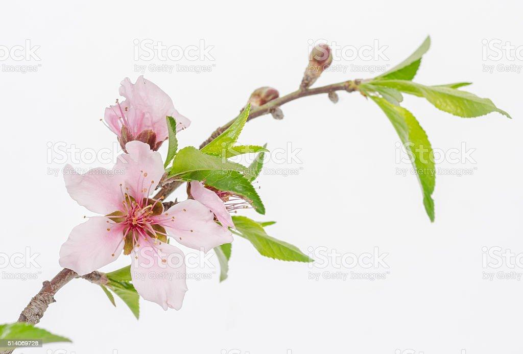 Peach Blossom  (Prunus persica) stock photo