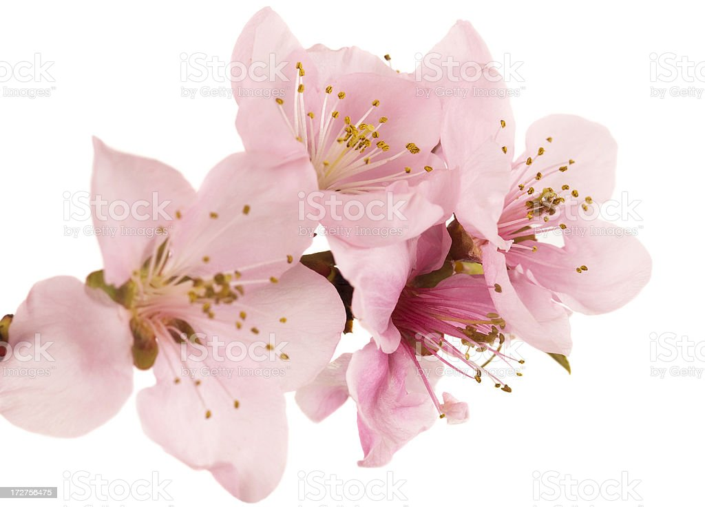 Peach blossom series stock photo