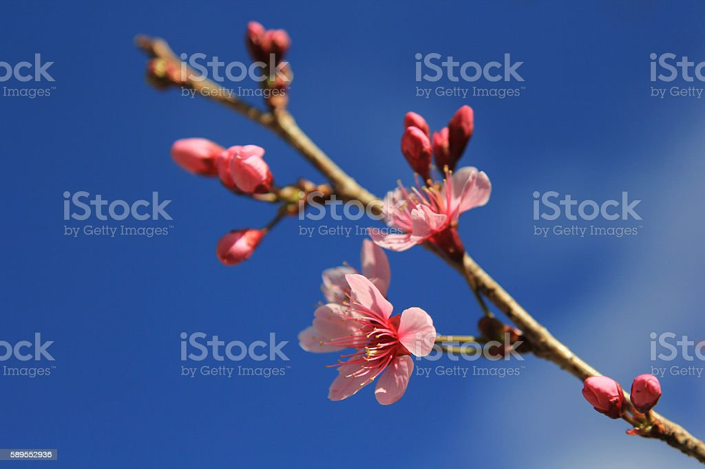 Peach blossom - The peach (Prunus persica) stock photo