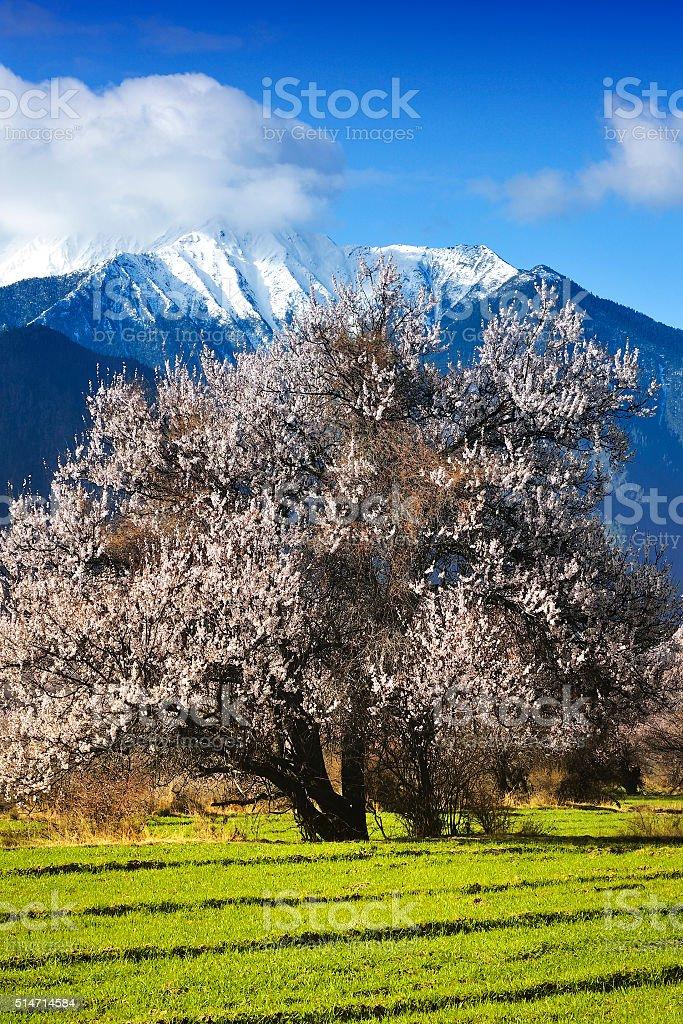 Peach Blossom Tree stock photo