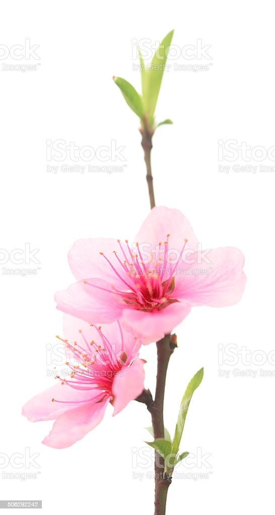 Peach blossom twig in spring stock photo