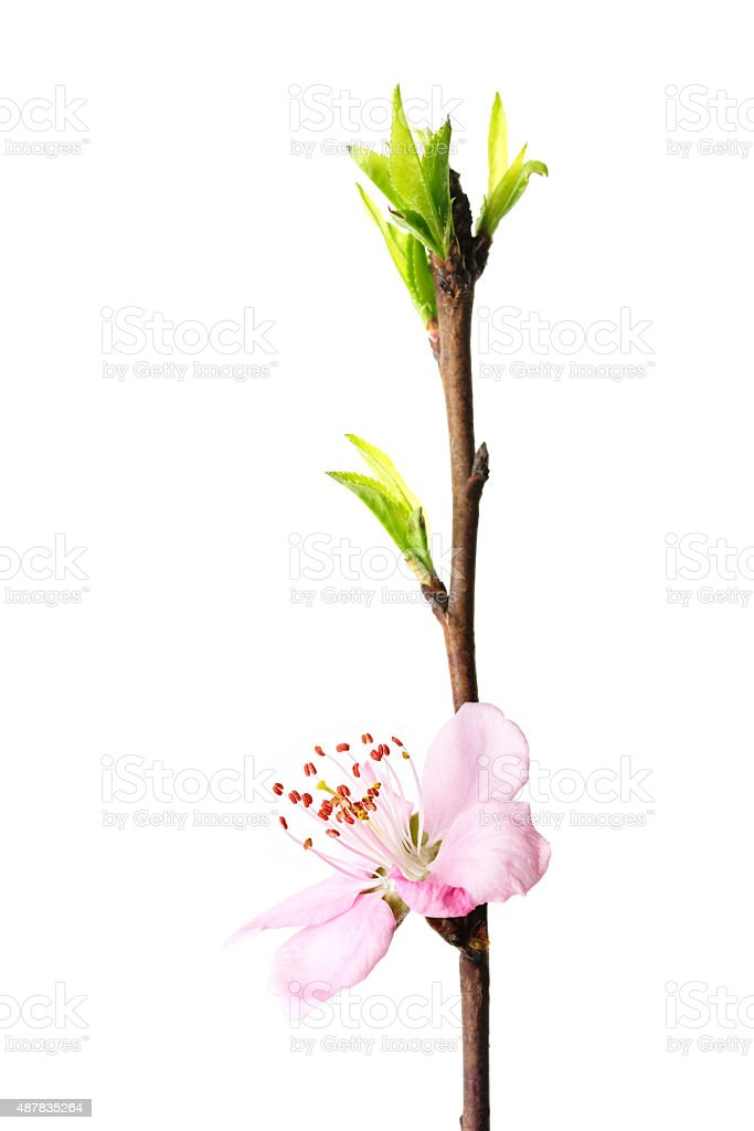 Peach blossom twig isolated stock photo