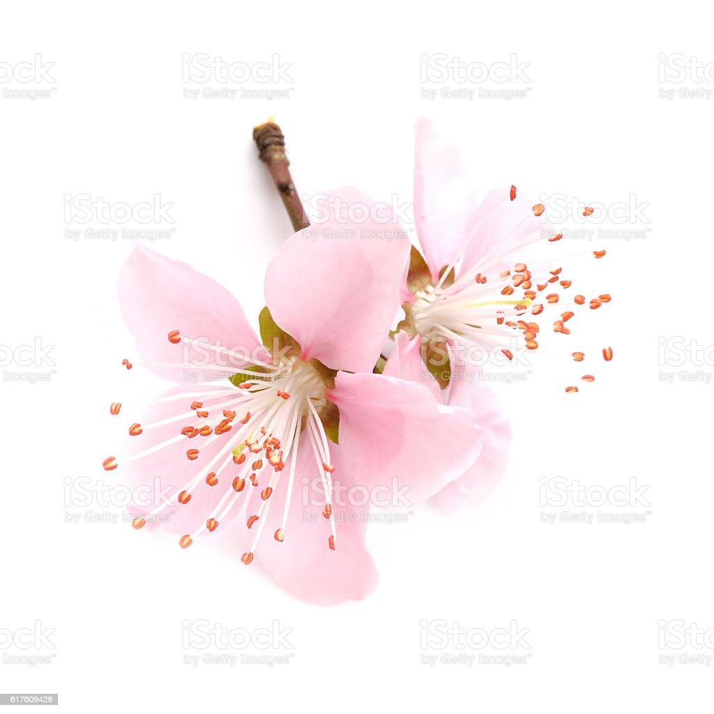 Peach blossom twig stock photo