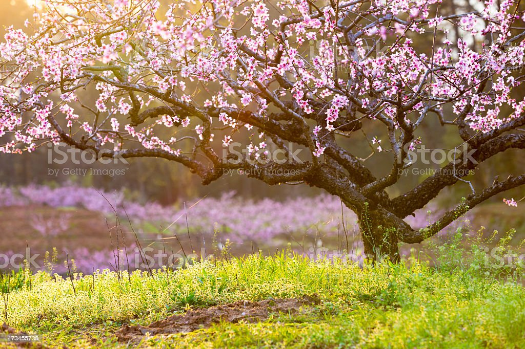 peach blossom,green grass with sunshine stock photo