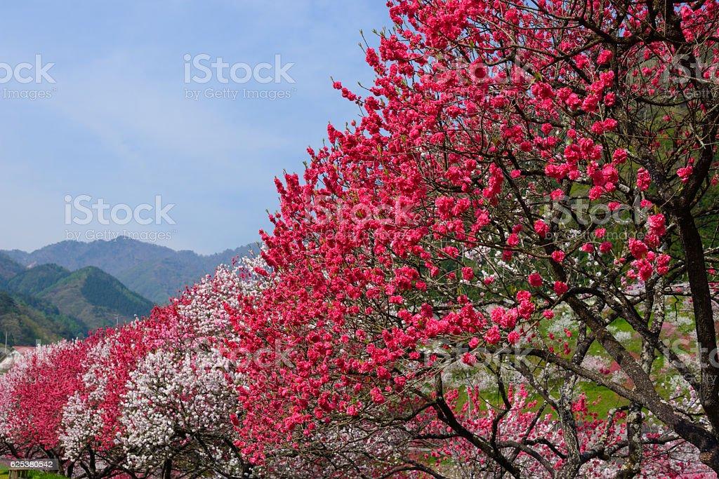 Peach blossoms at Gessen Onsen in Achi, Nagano, Japan stock photo