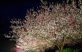 Peach blossoms at Gessen Onsen in Achi, Nagano, Japan