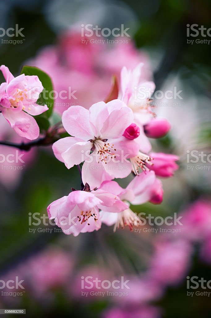 Peach blossoms background stock photo