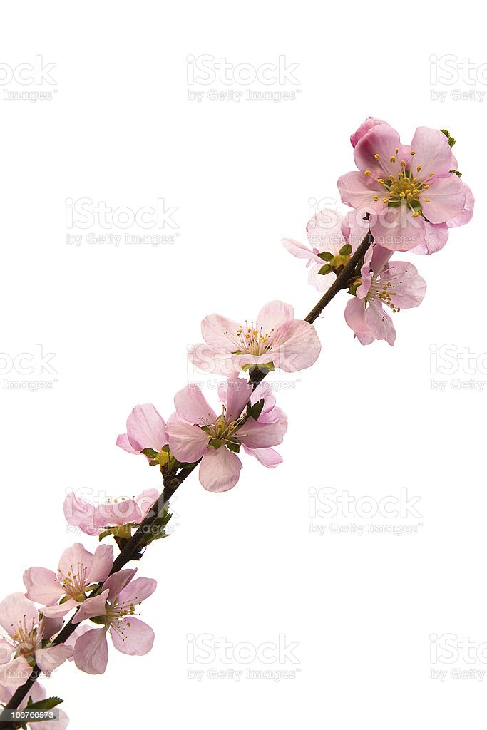 Peach blossoms stock photo