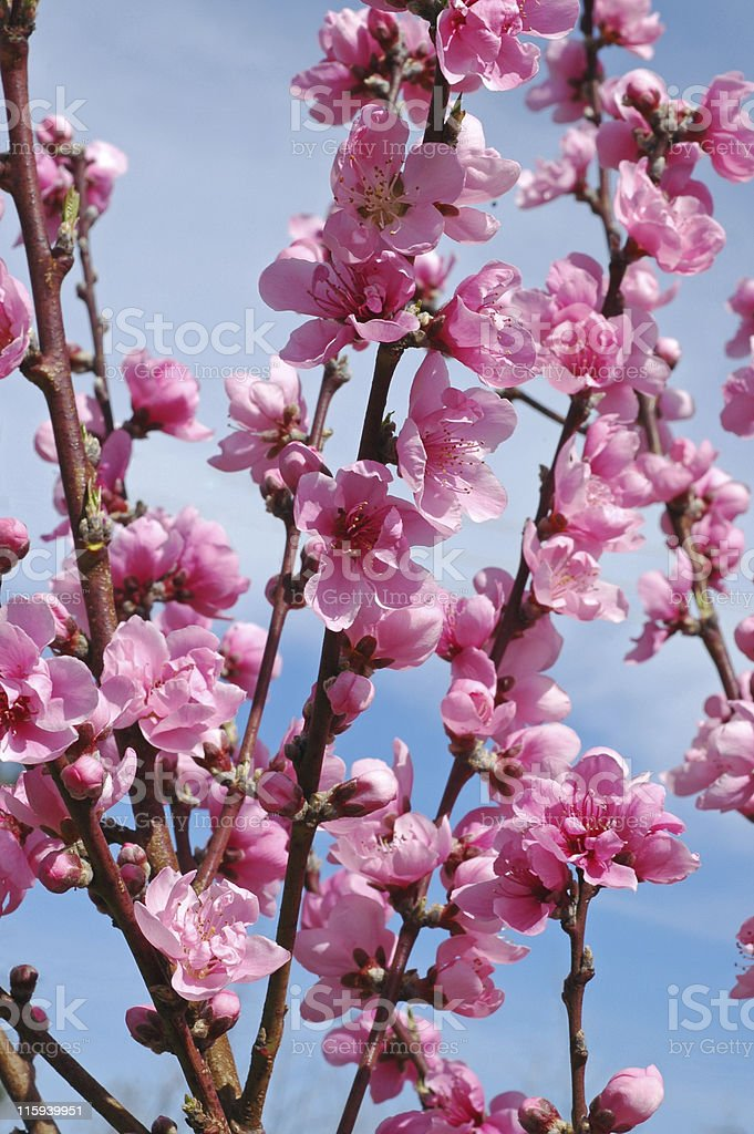 peach blossoms, Prunus persica stock photo