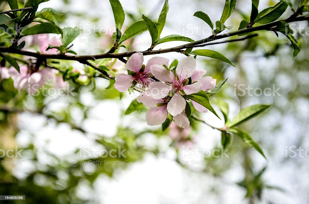 peach blossoms, Prunus persica stock photo