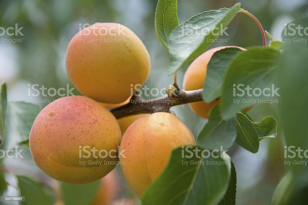 Peach Cluster royalty-free stock photo