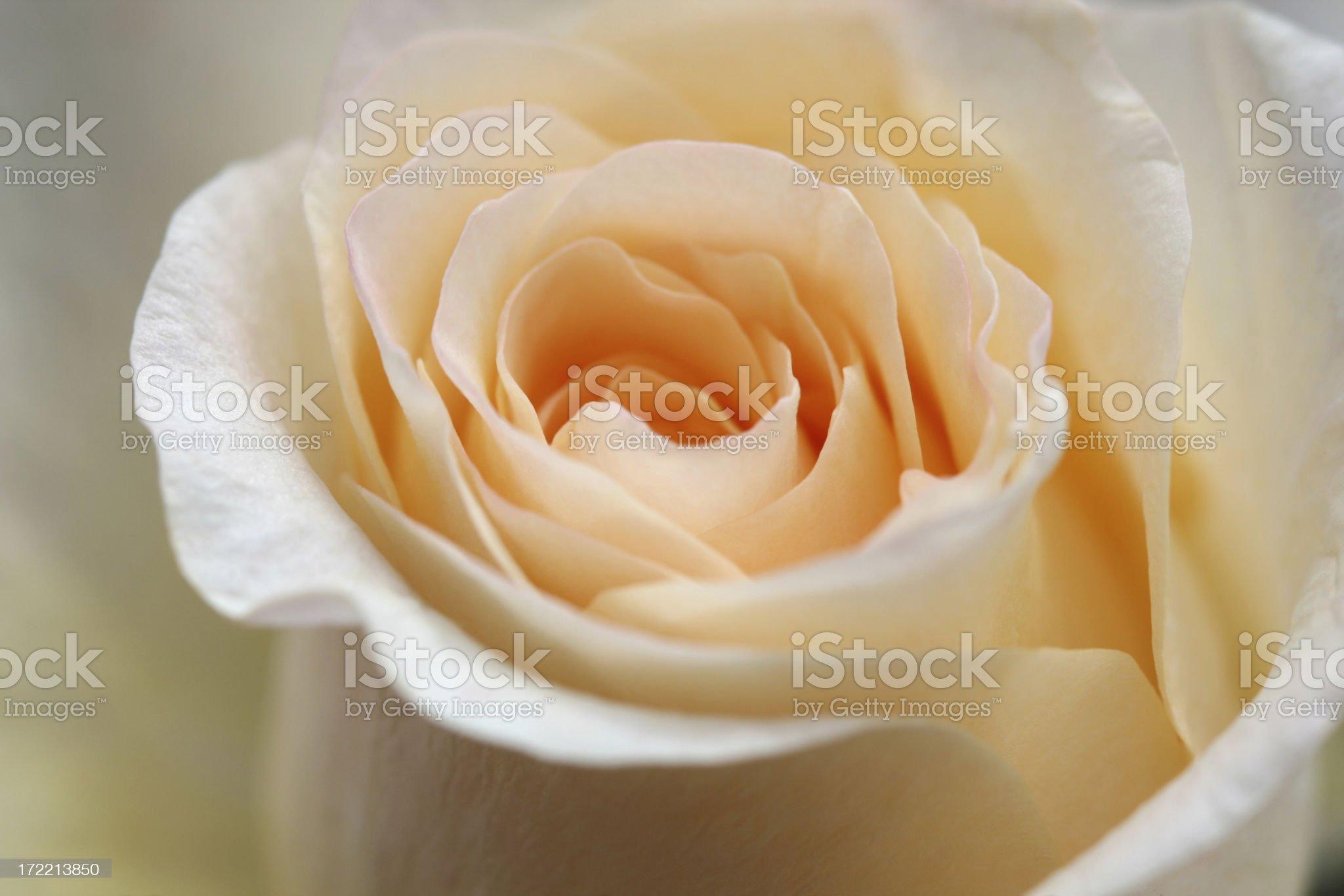 Peach colored rose macro royalty-free stock photo