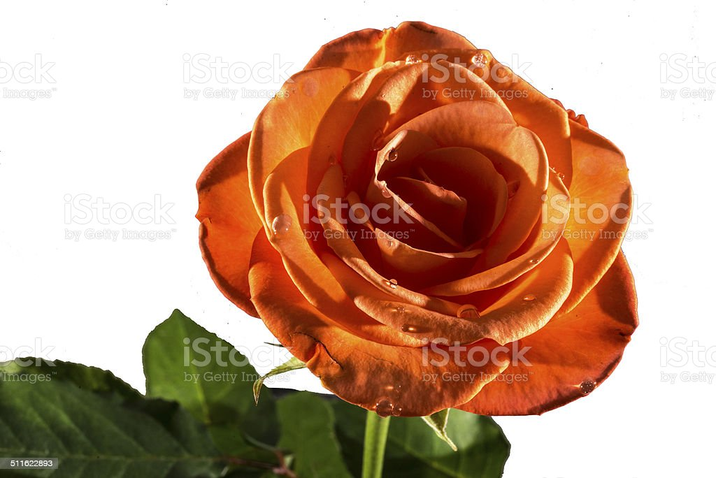 Peach coloured Rose royalty-free stock photo
