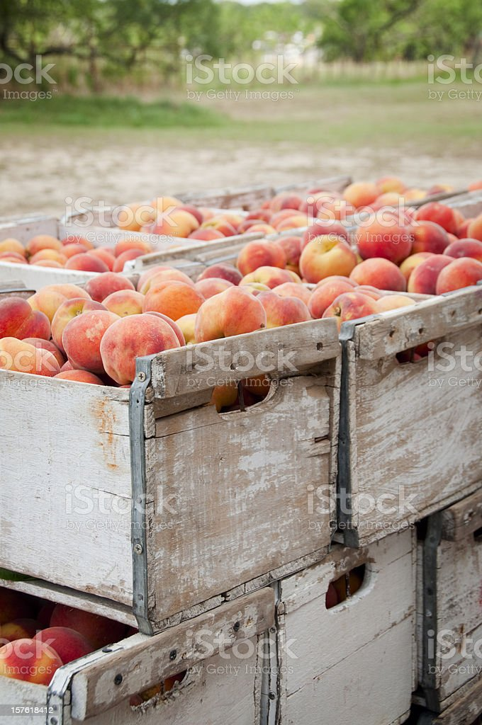 Peach Crates at Orchard stock photo