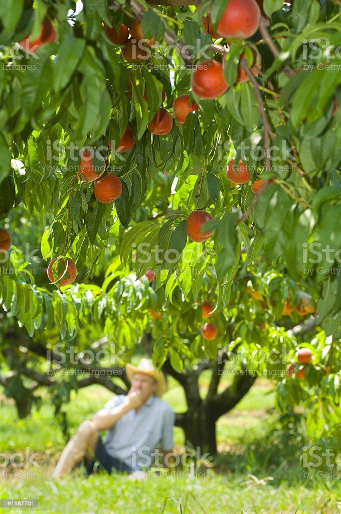 peach eater royalty-free stock photo