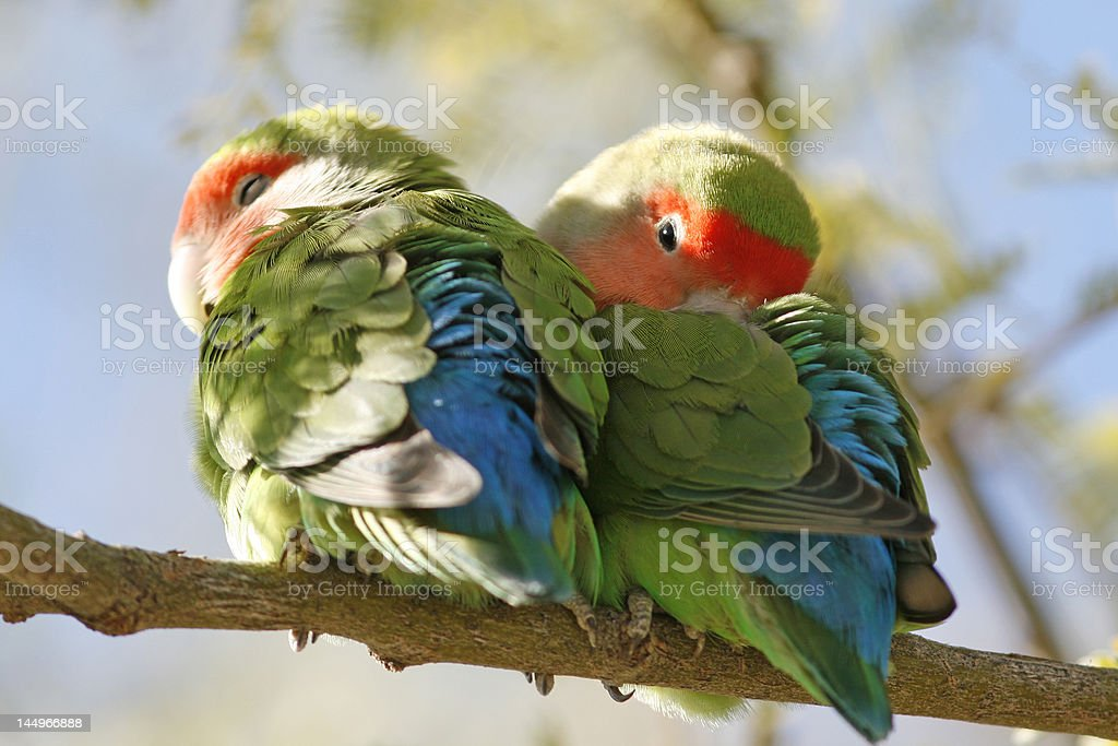 Peach Faced Lovebirds royalty-free stock photo