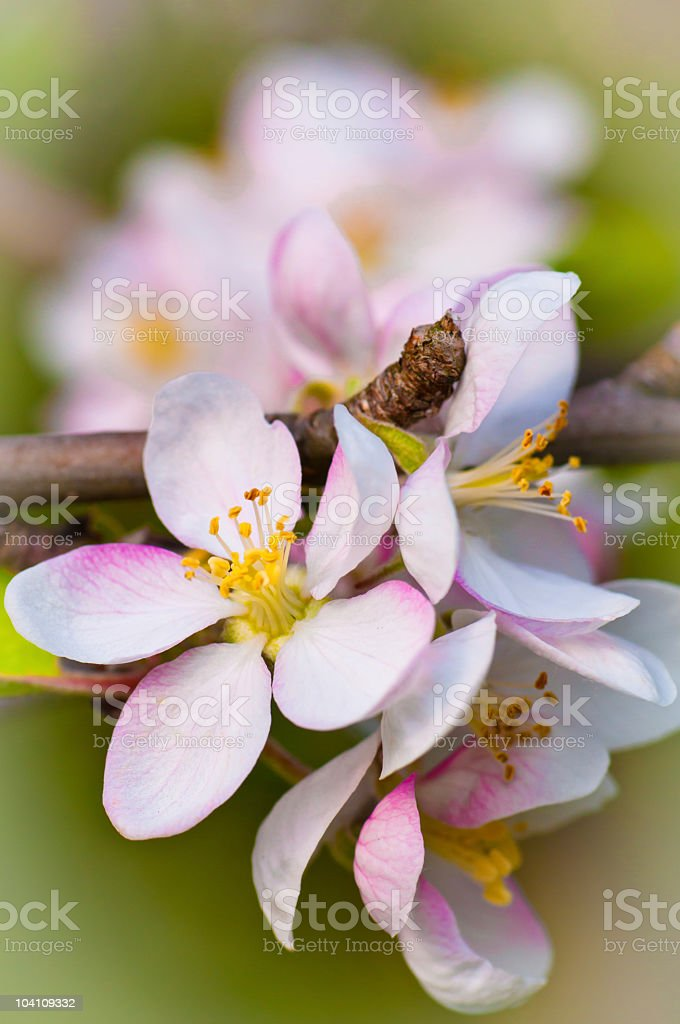 Peach flower close-up royalty-free stock photo