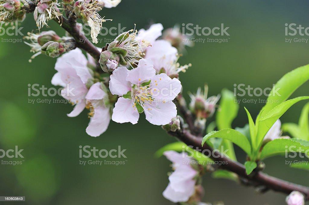 peach flower royalty-free stock photo