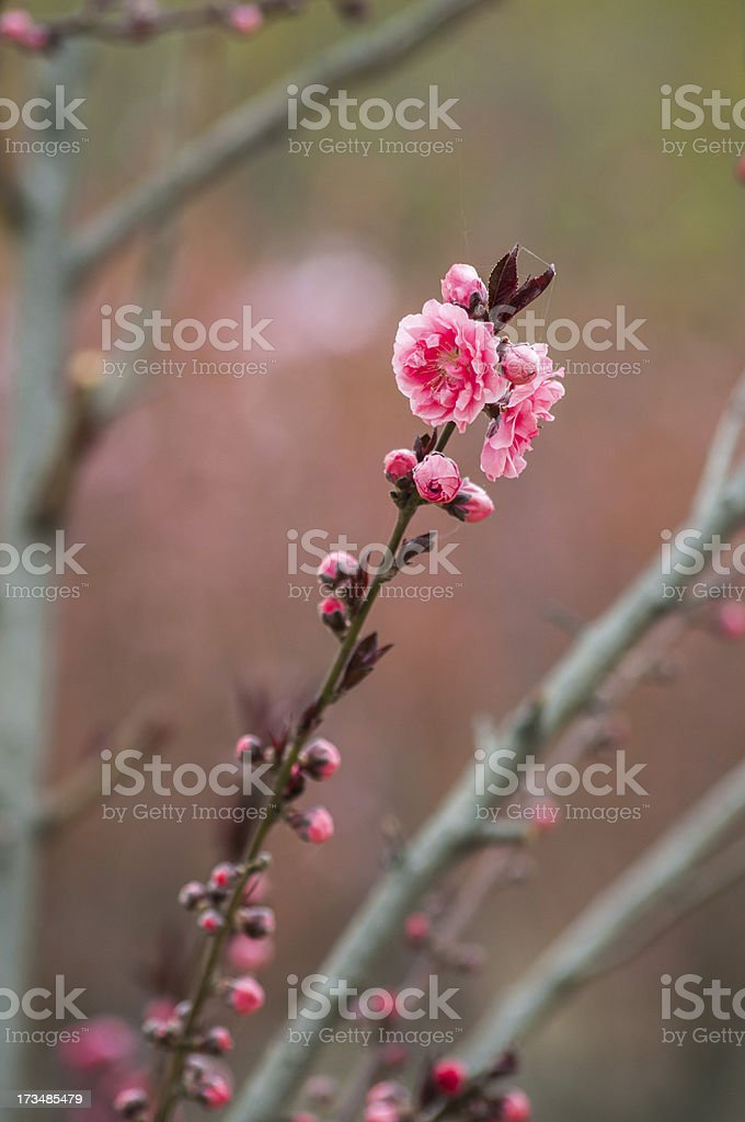 peach flower royalty-free stock photo