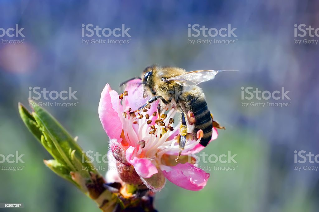 Fiore di pesco con ape foto stock royalty-free