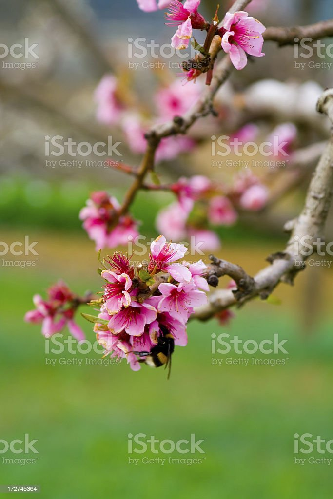Peach flowering royalty-free stock photo