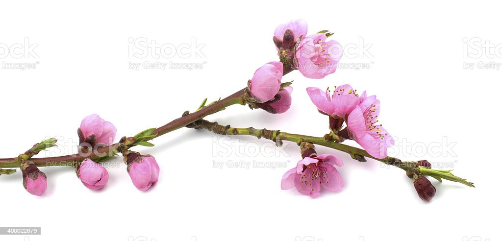 Peach flowers branch royalty-free stock photo