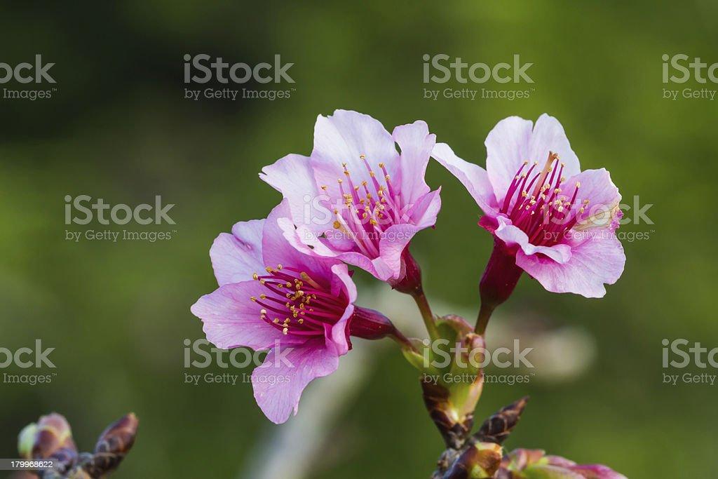 Peach flowers royalty-free stock photo