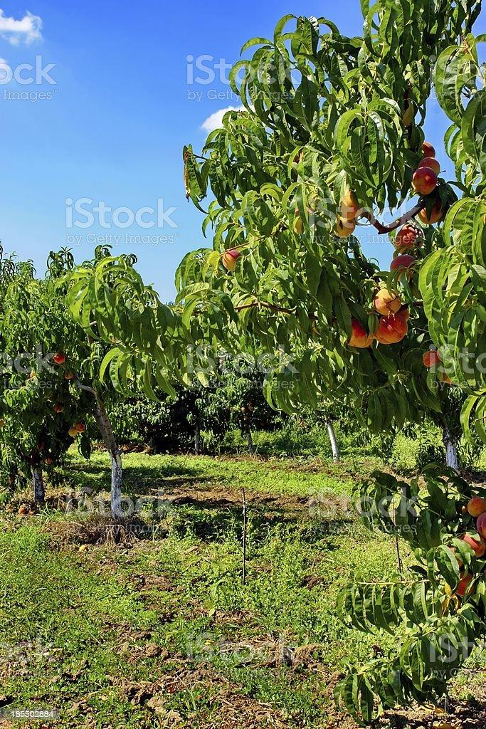 Peach Fruit Orchard in Summer XXXL stock photo