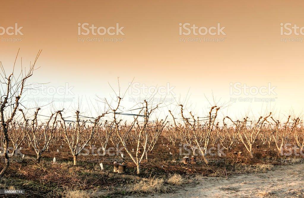 Peach grove at sunset stock photo