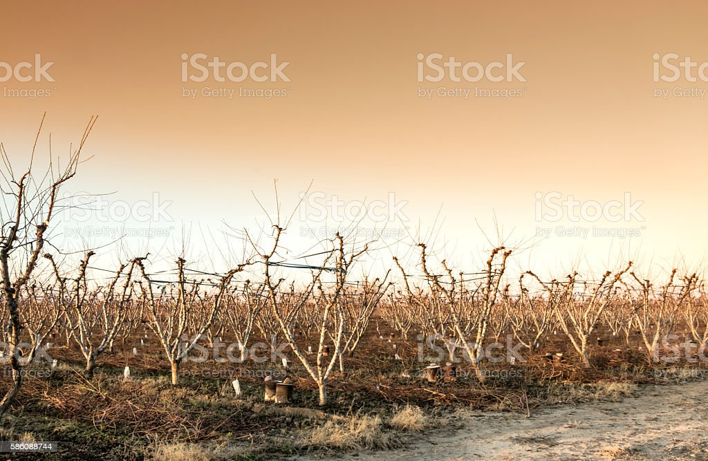 Peach grove at sunset stock photo