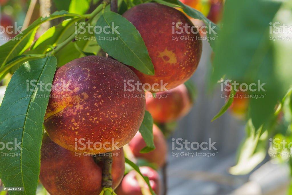 peach growing on a tree stock photo