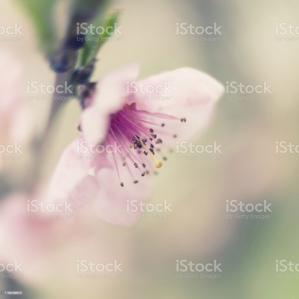 Peach in bloom royalty-free stock photo