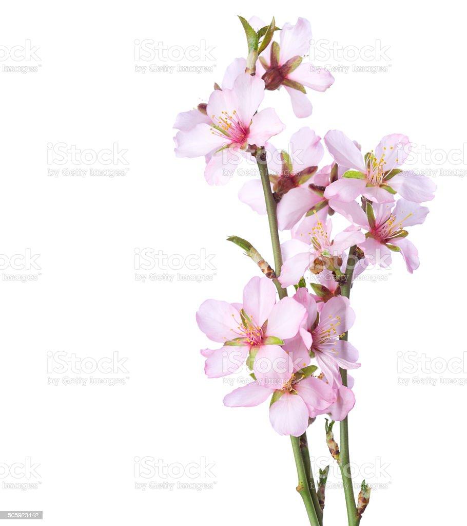 Peach  in blossom stock photo