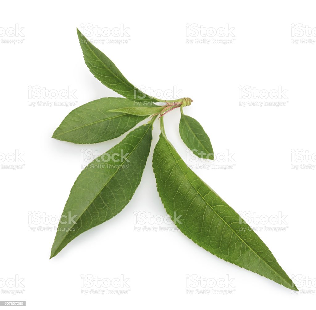 Peach leaf isolated on white background stock photo