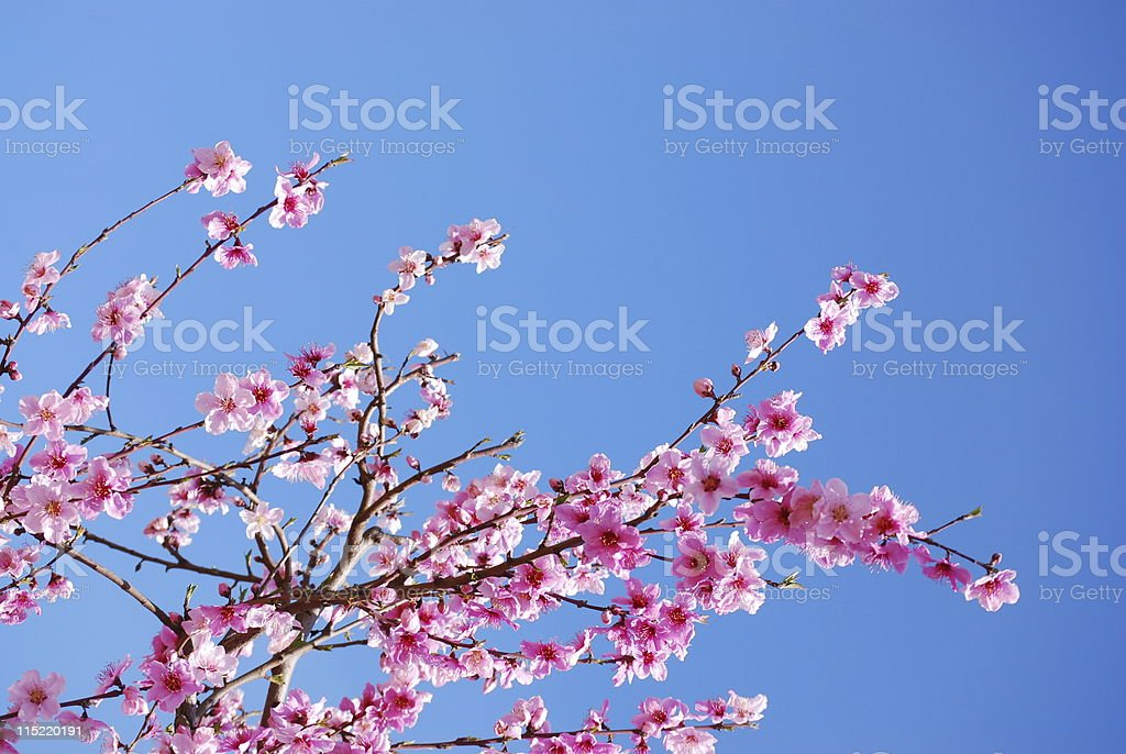 Peach or Nectarine Blossoms stock photo