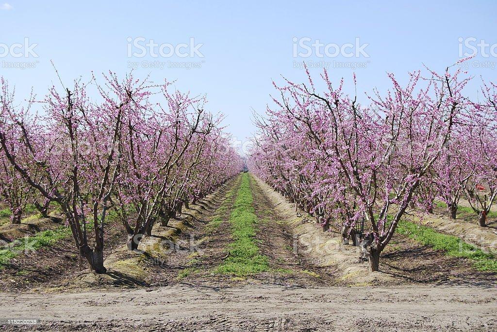 Peach or Nectarine Orchard stock photo