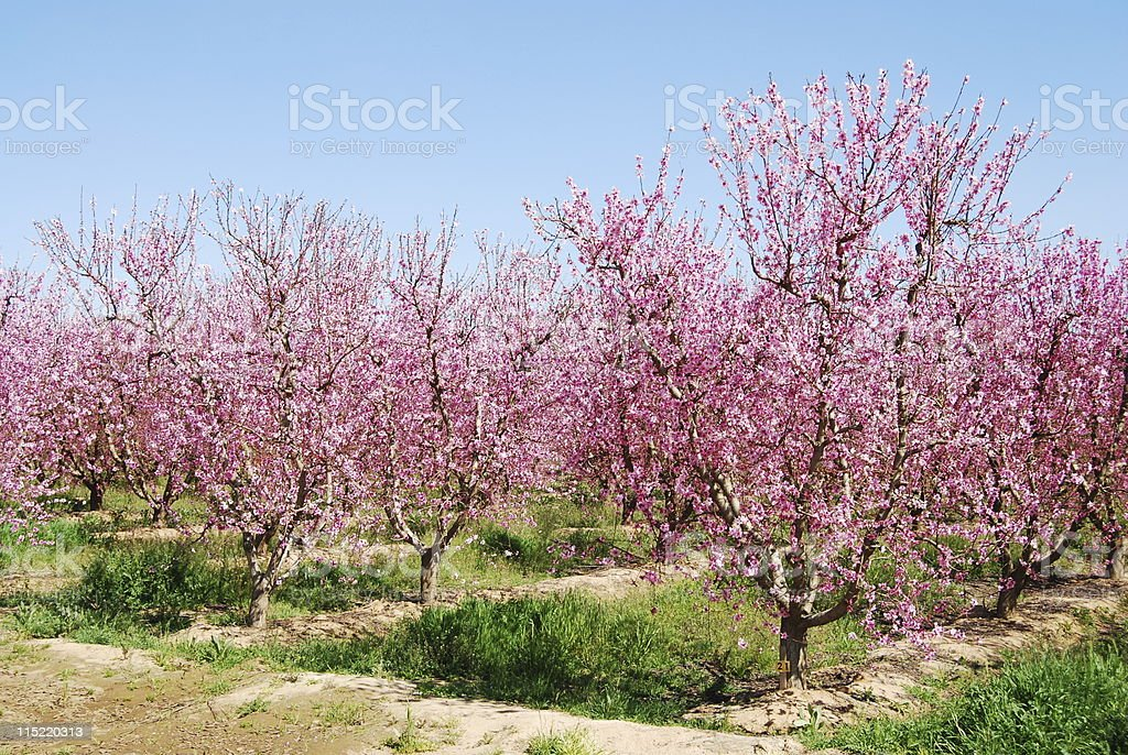 Peach or Nectarine Orchard royalty-free stock photo