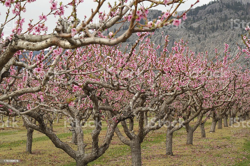 Peach Orchard Blossoms, Osoyoos royalty-free stock photo