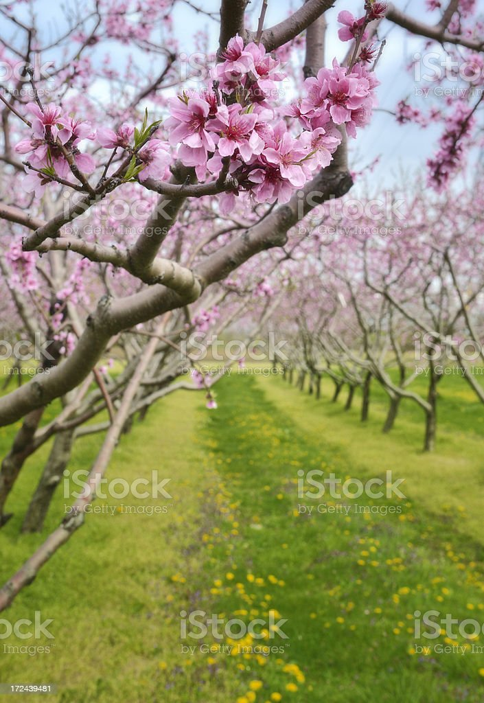 Peach orchard in bloom stock photo