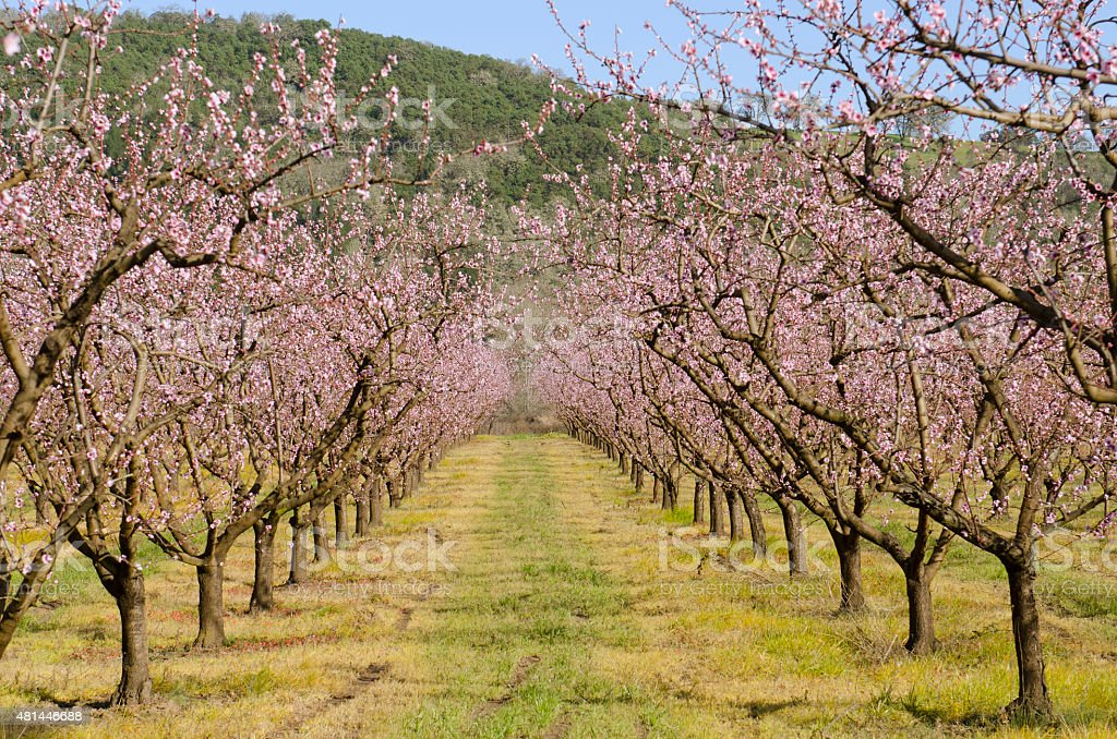 Peach orchard in blooming stock photo