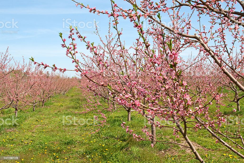 Peach Orchard in Pink Blossoms royalty-free stock photo